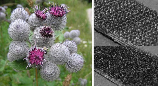 Burdock and Velcro hooks and loops from Wikimedia Commons