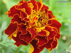Marigold for Natural Insect Control - flowers.vg photo