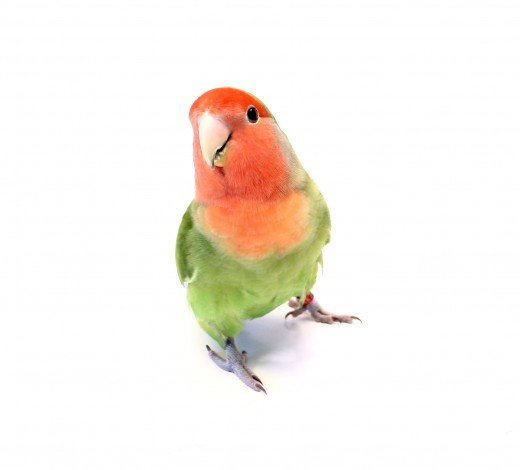 A love bird is colorful and gregarious little parrot to have.