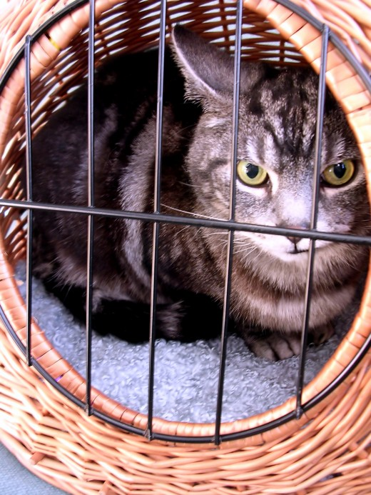Cat in a pet carrier.  Careful now.  He, uh... doesn't look happy...