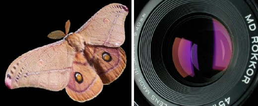 Emperor Gum Moth and Anti-Reflective lens from Wikimedia Commons