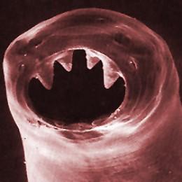 Hookworm (nice teeth!)
