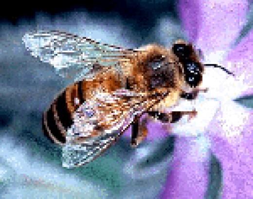 Honeybee Public Domain