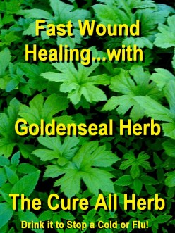 Goldenseal Herb...The Cure All For Infection