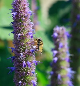 Anise Hyssop Flowers