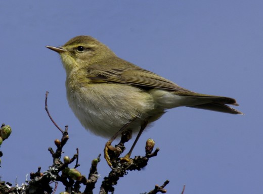 Willow warbler is another of the group known as leaf warblers. Photograph courtesy of Aviceda