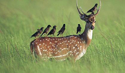 Naive and wild, the Philippine Spotted greatest predators are the humans. Photo from deer-pictures.com