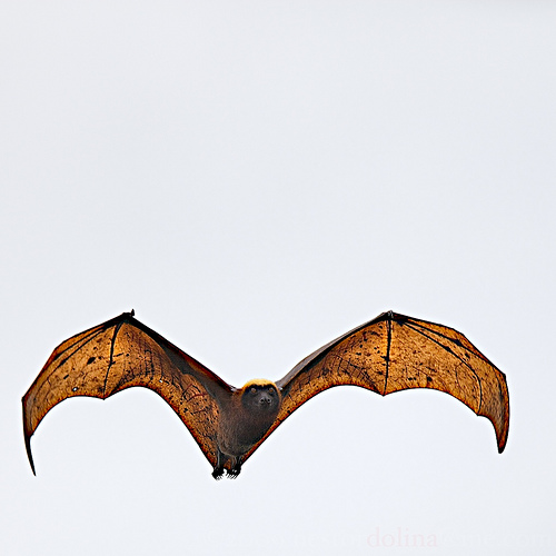 The world's largest bat in the world, the rare Golden Crown Flying Fox. Photo from flickr.com