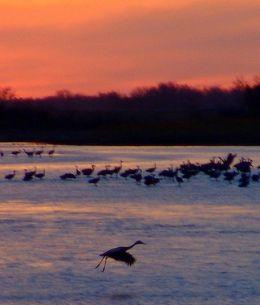 Sandhill Cranes on the Platte. Photo by Steve Deger.