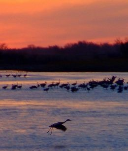 Sandhill Cranes on the Platte. Photo by Steve Deger.