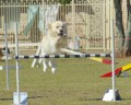 How and When to Start a Dog in Agility Training