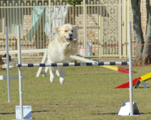 Dog agility training, ozgary, morguefile.com