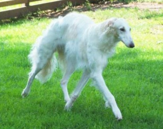 White Borzoi Puppies | Dog Breeds Picture