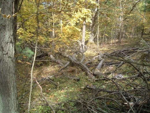 More Red Oak