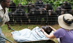 Chimpanzees Mourn Their Dead - Just Like Humans.