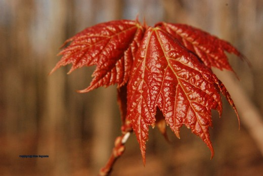 Young maple leaves start red.