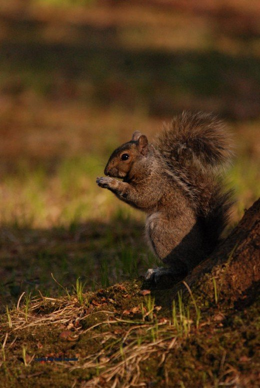 A squirrel dines on acorn meat.