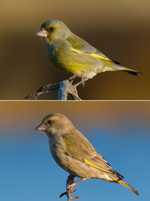 green finch.Above the male below his wife  Photographs courtesy of Adreas Trepte. Photo natur.de.