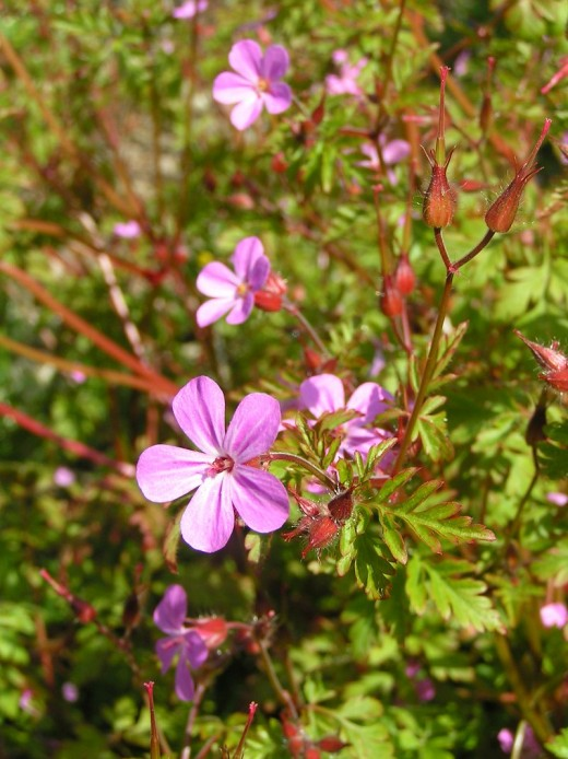 The small pink flowers of herb robert. Photograph courtesy of Sannse.