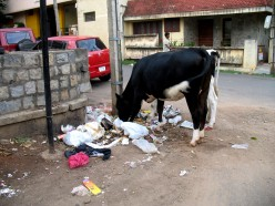 No Green Grass for the Cow.The Owner a Local Vote Bank allows the cows to go anywhere to find the food they want till it is time for him to milk his money,the milk sold door to door as he milks the cow. Chief Minister will never be shown this when he