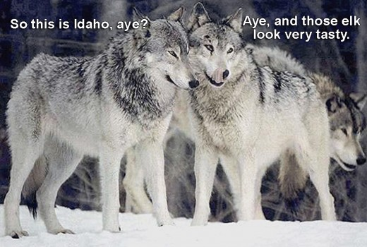 Canadian wolves discuss dinner in a foreign land.