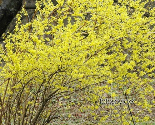 forsythia, a beautiful, yellow shrub that blooms in early Spring