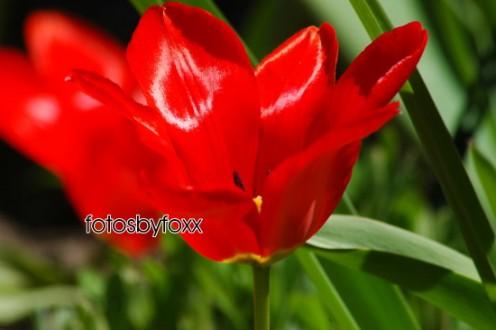 beautiful red tulips... just look at the shine on those petals