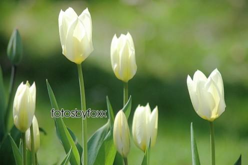 lovely white, Spring tulips; galore