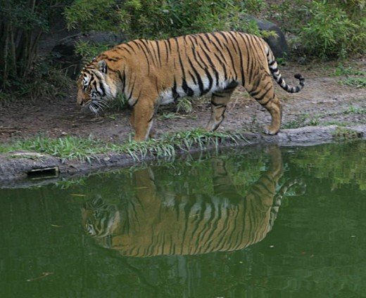 Royal Bengal Tiger At Sundarban