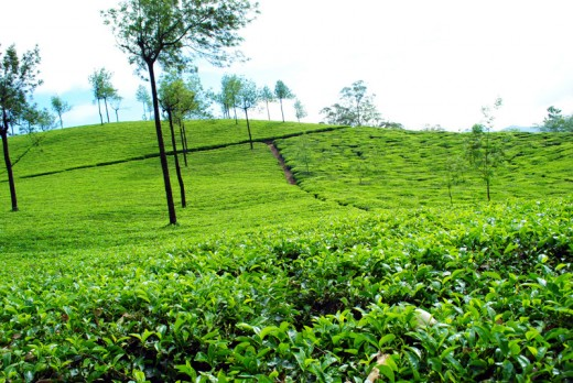 Tea garden At Munnar, Kerala
