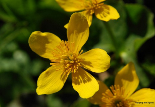 A marsh marigold is pretty yellow, too.
