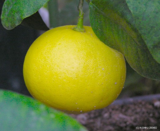 Bergamot looks like orange or pear