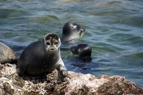 Lake Baikal seals