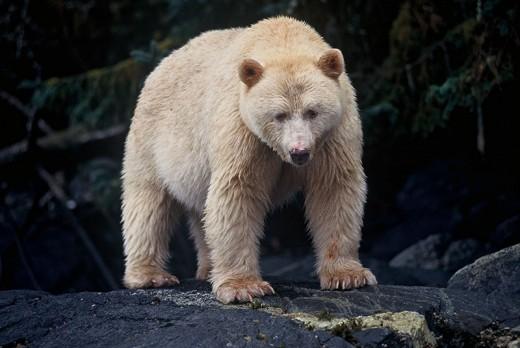 Spirit Bear photo from paulburwell.com