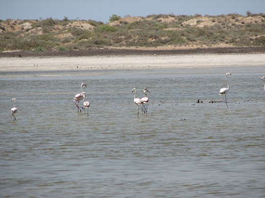 Flamingo's fishing in the Caspian Sea