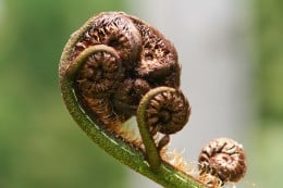 A ponga - the koru is an emblem