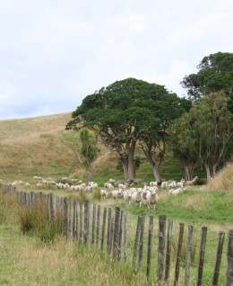 Sheep out number people in New Zealand