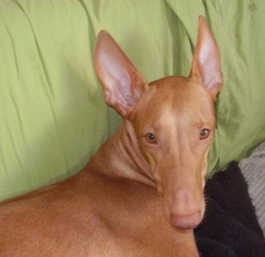 Pharaoh Hound 9