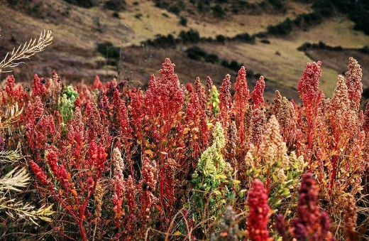 Quinoa ready to harvest