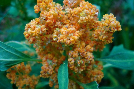 Quinoa in Flower