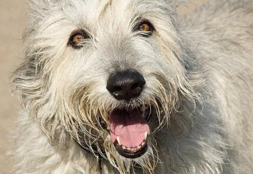 Irish Wolfhound 1