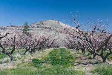 Peach trees in bloom on Orchard Mesa near Palisade.