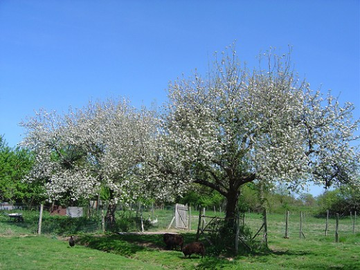 Blue skies and apple blossom. The sheep also 'mow' the grass for us.