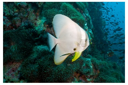 Bat fish sighted during dive at Perhentian