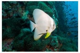 Bat fish sighted during dive at Perhentian