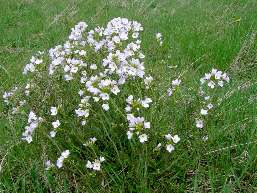 The bubbly, frothy flowers of the cuckoo flower adorns the grass land at this time of the year. Photograph by D.A.L.