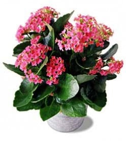 The Kalanchoe plant, available in many different colors.