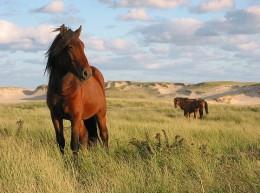 Wild horse on Sable Island - photo by Paul Illsley from ursispaltenstein.ch