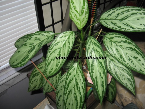 another Chinese Evergreen