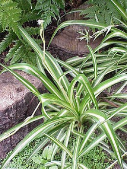 Spider plant courtesy wikipedia.org